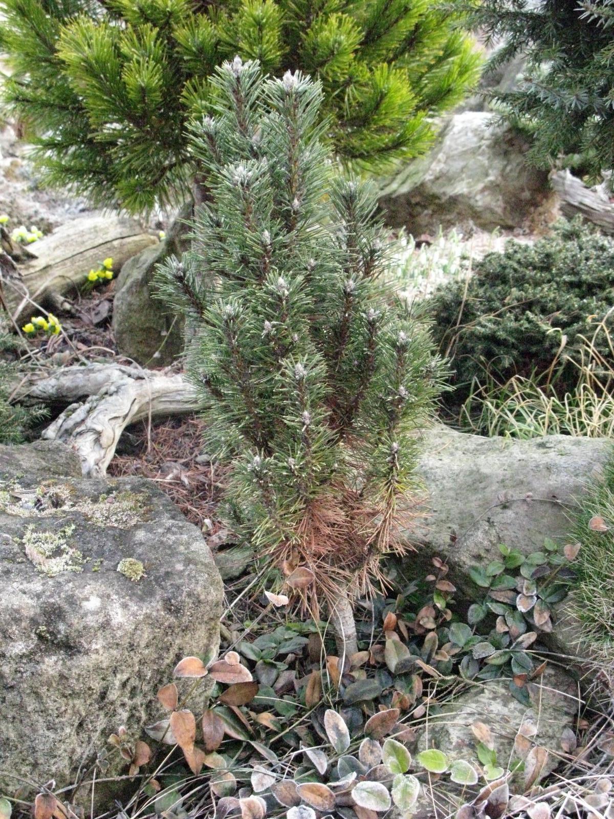 borovice černá Komet - Pinus nigra Komet